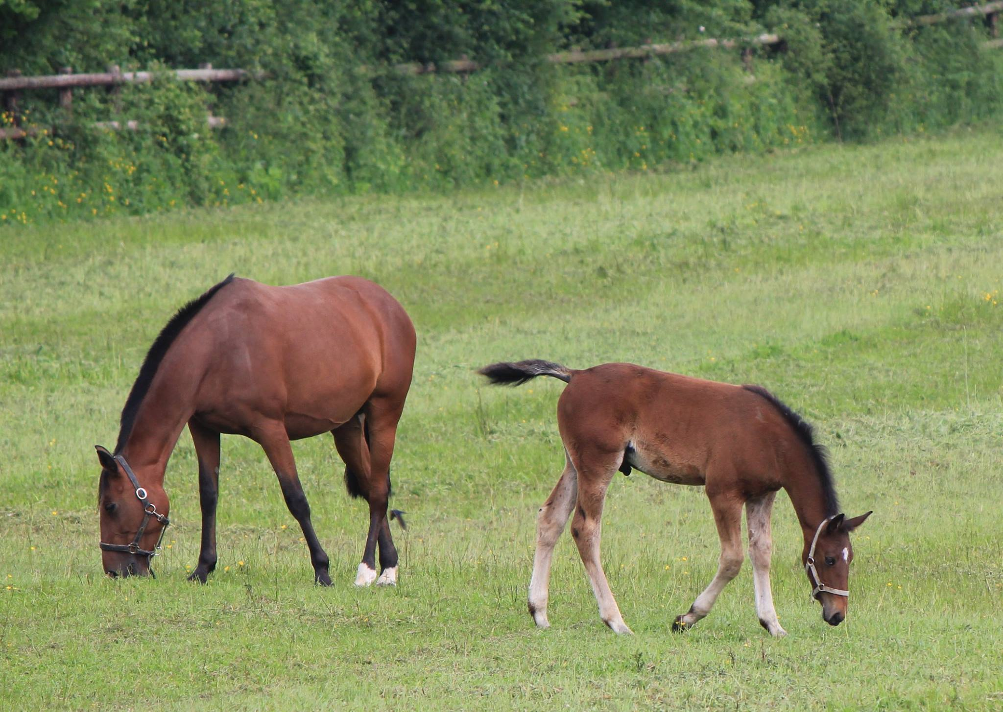 toulouse-darby-with-foal-from-scipion-du-goutier
